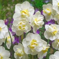 Ready Potted 1 Litre Pot   WHITE CHEERFULNESS DOUBLE DAFFODIL